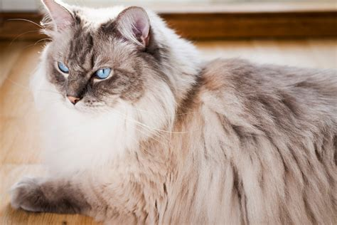 ragdoll cat size unimaginably interesting characteristics of ragdoll cats