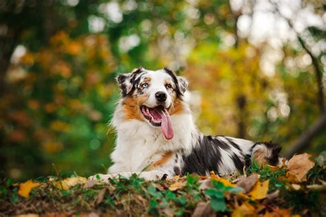 best food for australian shepherd puppy australian shepherd with a tongue wallpapers and images wallpapers pictures