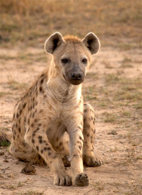 images of hyenas hyenas animal facts photographs the wildlife