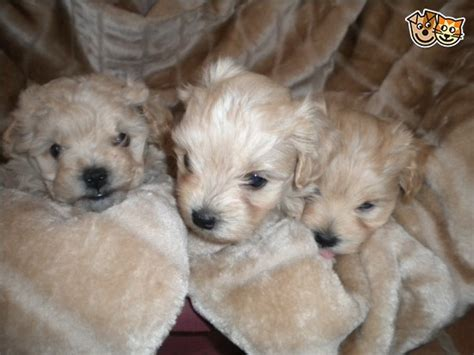 apricot maltipoo puppies for sale stunning apricot maltipoo puppies for sale doncaster south pets4homes
