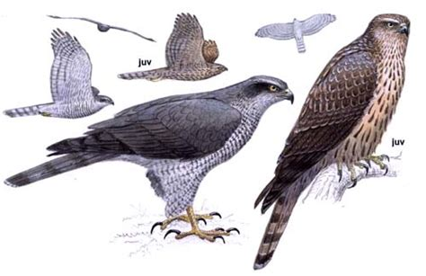 northern goshawk accipiter gentilis european birds