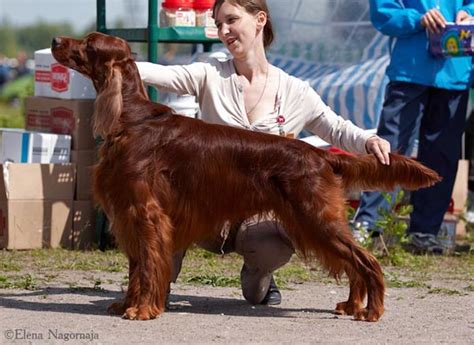 irish setter national dog show irish setter garden stars irish king show