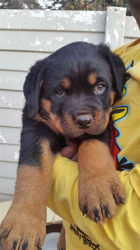 rottweiler puppies for sale in detroit 25 best ideas about rottweiler puppies for sale on german rottweiler