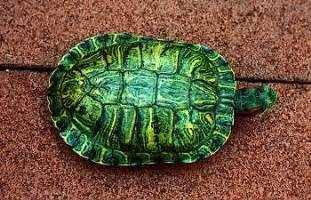 what color is a turtle eared slider turtle info turtle