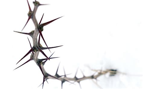 thorn on a white background wallpapers and images