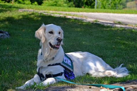 registering a as a service animal how to register a as a service adventures of frugal