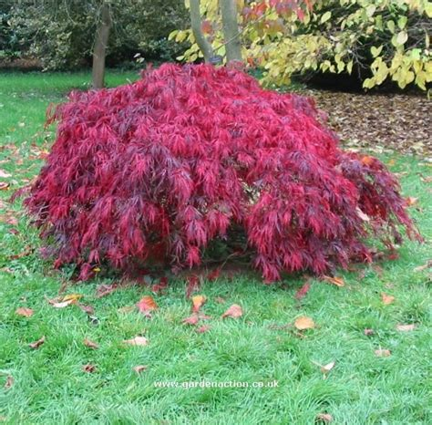 dwarf weeping japanese maple