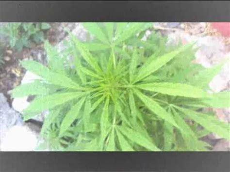 imagenes de marihuana chidas imagenes de la marihuana chidas holidays oo