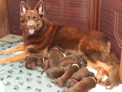 liver german shepherd german shepherd puppies liver gloucester gloucestershire pets4homes