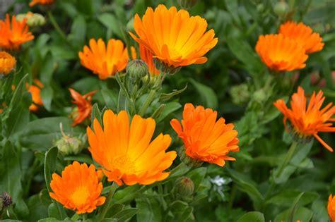 fiore calendula cal 233 ndula medio ambiente