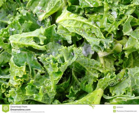 Crunchy Green Kale Ready Stock roasted curly kale stock photo image 52035291