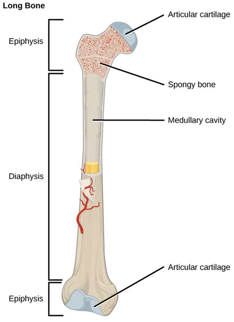 middle section of a long bone bone voer