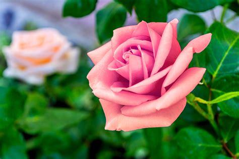 Bunga Violces Pink kopi hangat foto bunga mawar yang cantik
