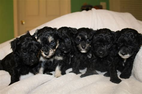 maltipoo puppies for sale in indiana view ad maltipoo puppy for sale indiana jeffersonville usa