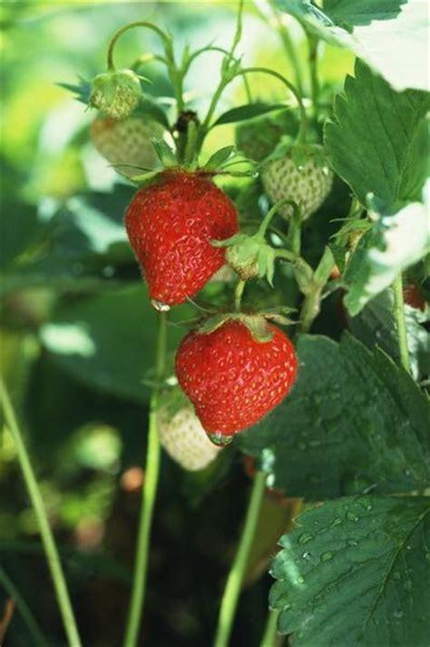 Vertical Gardening Strawberries Vertical Strawberry Growing