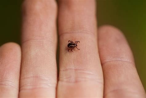 ticks in bathroom removing ticks from pets and humans