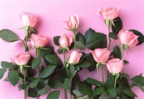 wallpaper laptop gambar bunga gambar bunga mawar pink