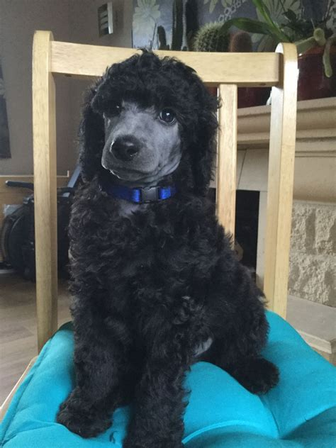 silver standard poodle puppies for sale stunning silver standard poodle puppies pewsey wiltshire pets4homes