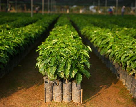 Coffee Tree starbucks donates a coffee tree to farmers starbucks