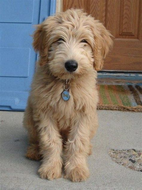 mini goldendoodles oklahoma labradoodle dogs ok you can come live with me