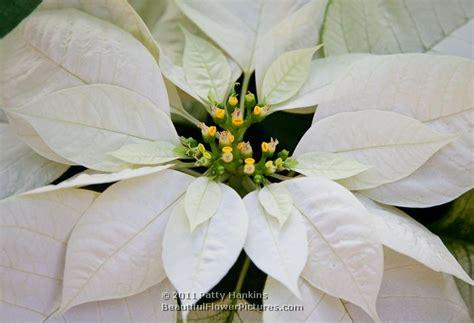 white poinsetta poinsettia white