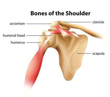 diagram of left shoulder shoulder tendons diagram 28 images skeletal series