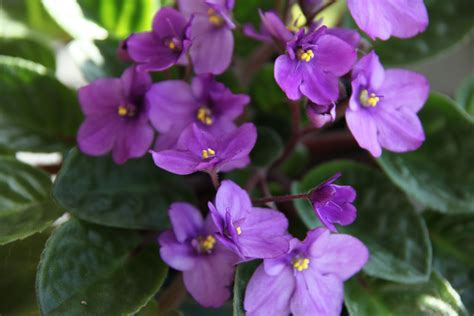 african violet wiese acres growing african violets part 2 lighting
