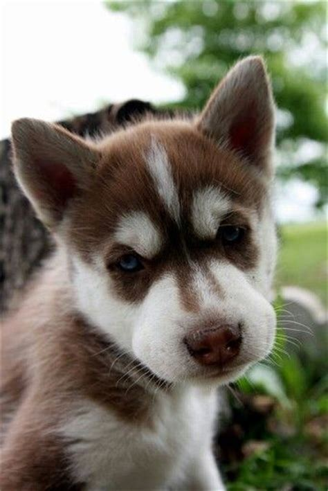 brown husky puppy brown husky husky