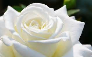 white rose flower wallpaper hd 10512 1920x1200 umad com