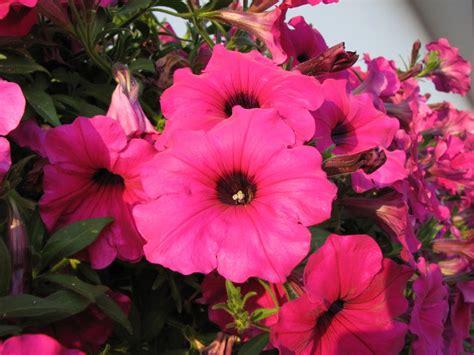 fiori varietà fiori in vaso le variet 224 pi 249 resistenti e facili da