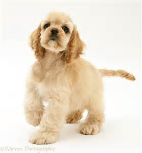 Dog: Buff American Cocker Spaniel pup photo - WP39209