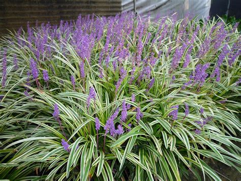 Flower Pot Sale by Liriope Muscari Liriope Muscari For Sale Online In