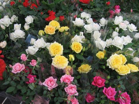 imagenes de jardines de rosas de colores galer 237 a de im 225 genes rosas en miniatura para la terraza