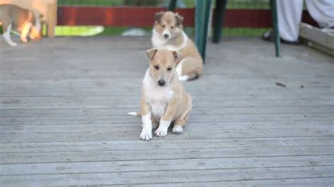 smooth collie puppies smooth collie puppies 5 weeks