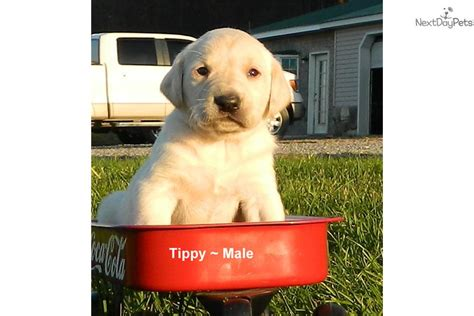 pointer puppies for sale near me tippy pointer puppy for sale near lancaster pennsylvania 9ef31506 3641
