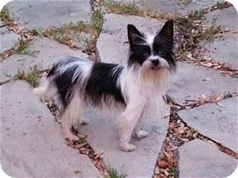 oregon yorkie rescue oregon oh maltese yorkie terrier mix meet cookie a for adoption