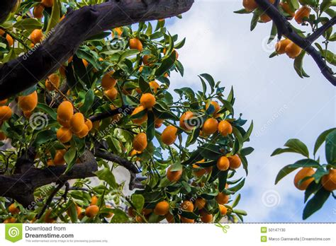 small fruit bearing trees fruit bearing trees clipart 66