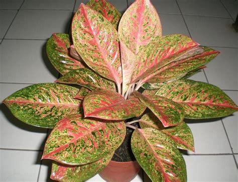 tanaman aglaonema happiness jual tanaman hias