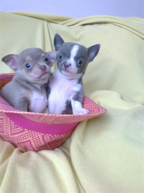 blue teacup chihuahua puppies for sale three teacup chihuahua blue gene puppies for sale manchester greater manchester