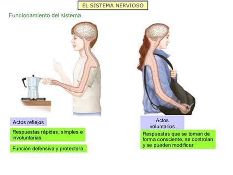 imagenes mentales involuntarias el sistema nervioso funcionamiento del sistema actos