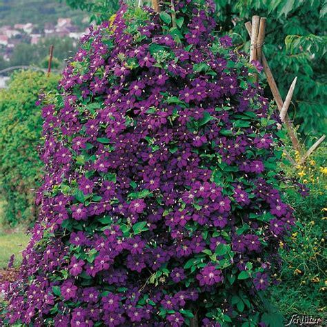 clematis viticella etoile violette 4887 clematis etoile violette clematis viticella etoile