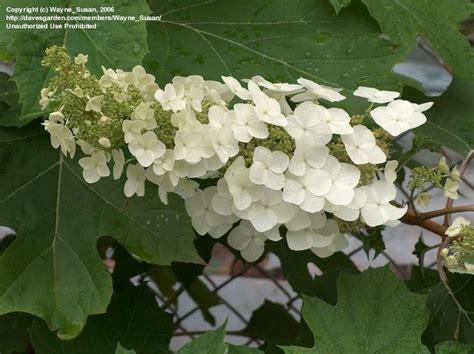 PlantFiles Pictures: Oakleaf Hydrangea (Hydrangea ... Oak Leaf Hydrangeas In Winter