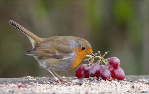 robin eating seeds grapes a robin feeding himself up