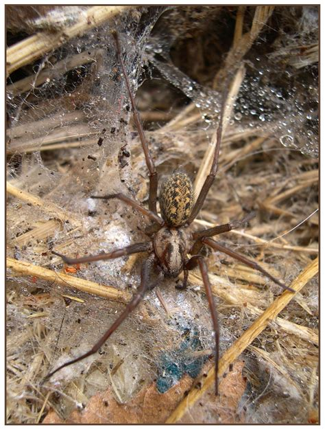Common Backyard Spiders by Yard Spider By Stevesm On Deviantart
