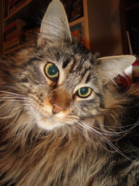 maine coon cat breed pictures of maine coon cat breed love my animals pinterest