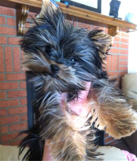 6 lb yorkie micro teacup yorkie puppy only 1 6 lbs fully grown minipups