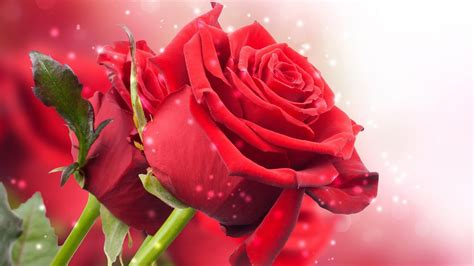 google wallpaper rose red rose live wallpaper android apps on google play