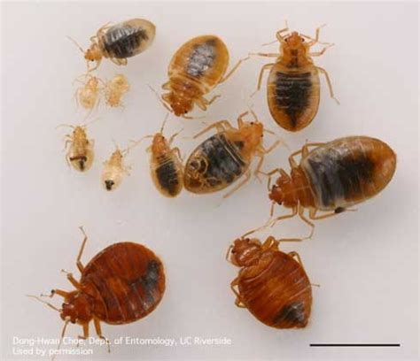 bed bugs pictures stages bed bug monitors help early detection pest news anr blogs