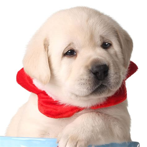 labrador puppies san diego labrador puppies for sale in san diego tender oak ranch labradors