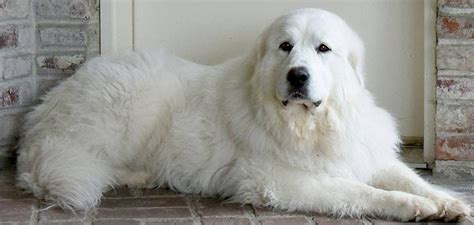 great pyrenees puppies for adoption great pyrenees rescue society home